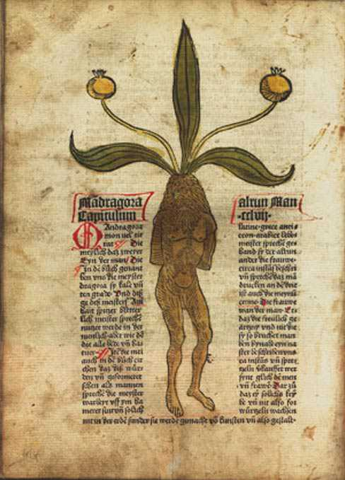 mandrake plant