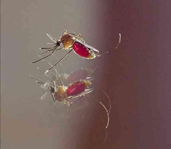 mosquito Pernilongo: O maior desafio do mundo