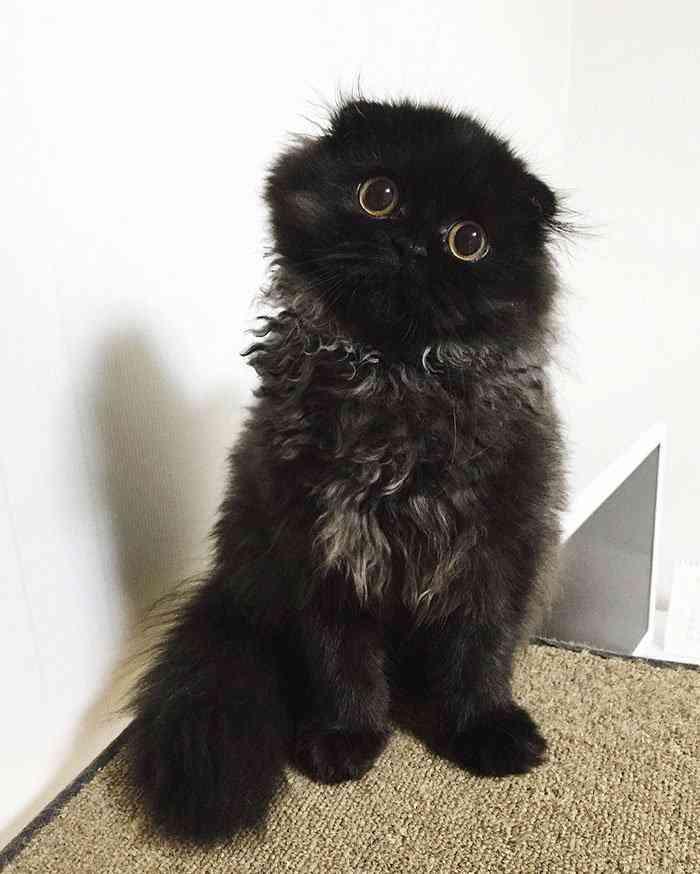 big-cute-eyes-cat-black-scottish-fold-gimo-1room1cat-201