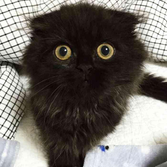 big-cute-eyes-cat-black-scottish-fold-gimo-1room1cat-251