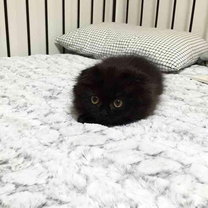 big-cute-eyes-cat-black-scottish-fold-gimo-1room1cat-311