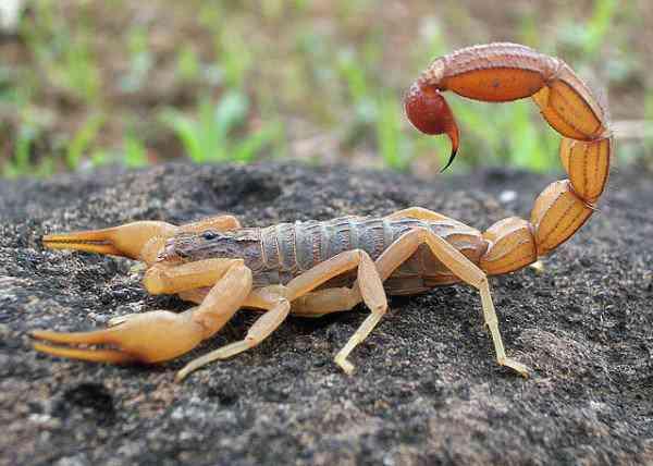 scorpion-600x428