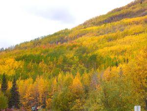 Pando: A floresta de uma só árvore