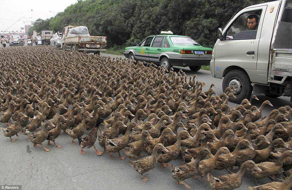Chinês causa confusão quando leva seus 5000 patos para um passeio