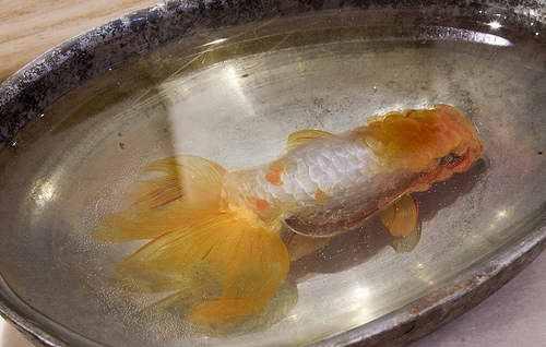 Riusuke Fukaori, o criador de peixinhos