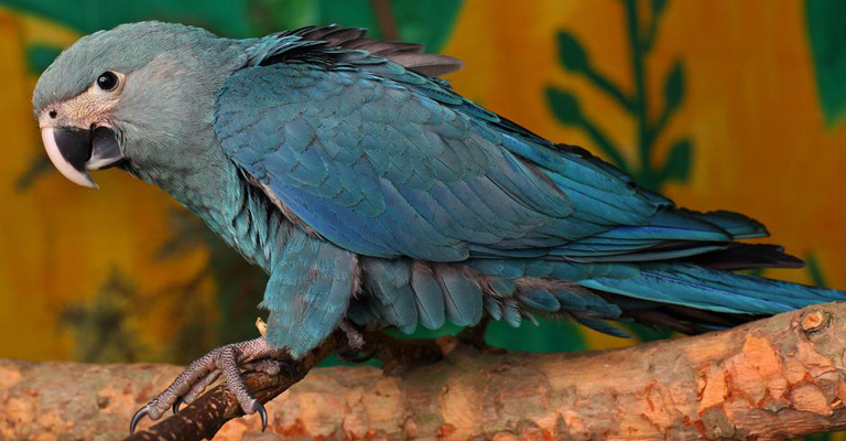 O projeto para salvar a ararinha-azul da extinção