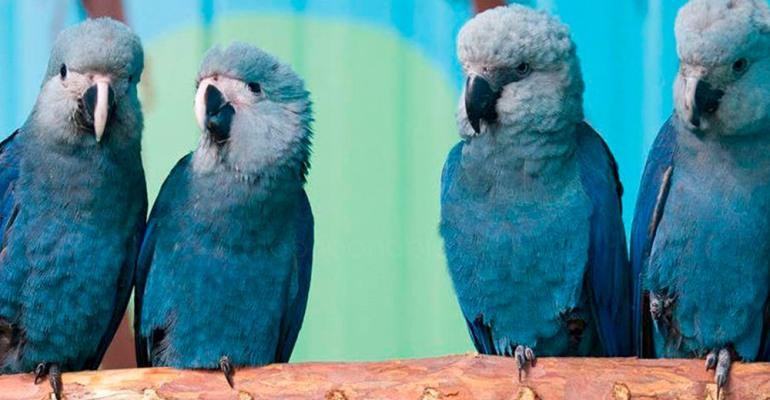 Ararinha-azul está provavelmente extinta da natureza