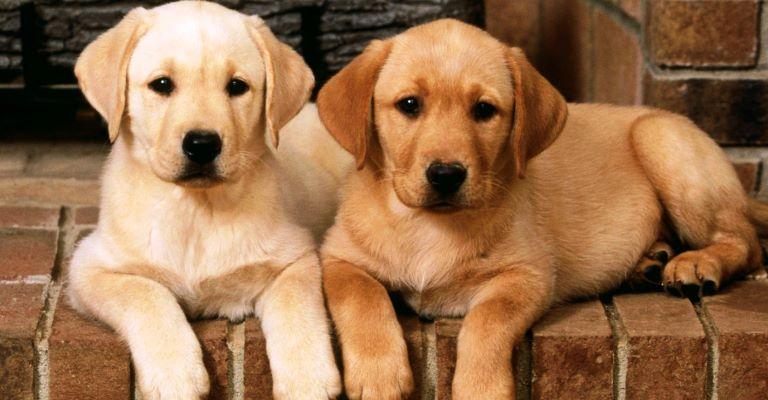 Aprovado medicamento para leishmaniose canina