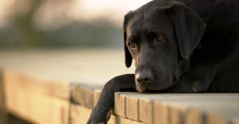 Seu cão pode ter problemas emocionais