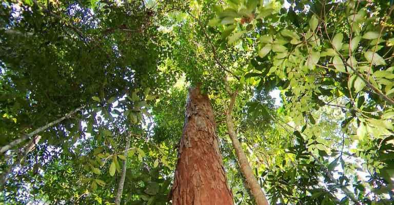 Sete árvores brasileiras ameaçadas de extinção