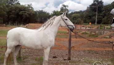 Equídeo Equino Mangalarga Marchador Registrado Cavalo Tordilha Marcha Picada - Pastar Imagens