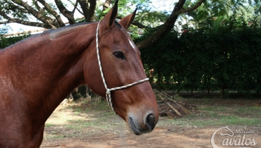Equídeo Equino Mangalarga Marchador Registrado Cavalo Castanha - Pastar Imagens