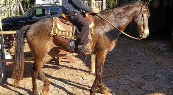 Equídeo Equino Mangalarga Marchador Não Registrado Cavalo Zaina Marcha Picada - Pastar Imagens