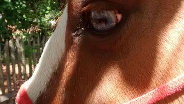Equídeo Equino Paint Horse Não Registrado Cavalo Pampa Trabalho - Pastar Imagens