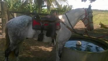 Equídeo Equino Mangalarga Não Registrado Cavalo Tordilha Marcha Batida - Pastar Imagens