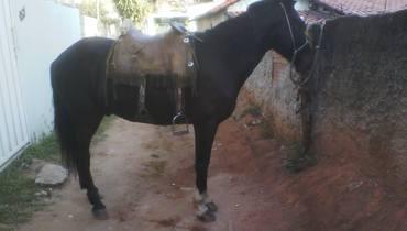 Equídeo Equino Diversos Não Registrado Cavalo Castanha Marcha Picada - Pastar Imagens