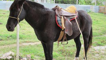 Equídeo Equino Crioulo Não Registrado Cavalo Castanho Marcha de Centro - Pastar Imagens