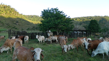 Bovino Leite Gir Vaca 16-20l - Pastar Imagens