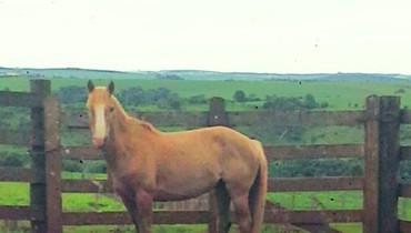 Equídeo Equino Crioulo Não Registrado Cavalo Baia Trabalho - Pastar Imagens