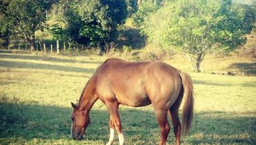 Equídeo Equino Diversos Não Registrado Cavalo Alazã Marcha Batida - Pastar Imagens
