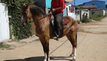 Equídeo Equino Campolina Comunicado Cavalo Castanha Marcha Picada - Pastar Imagens
