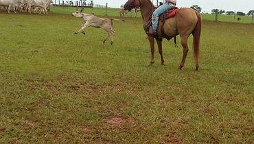 Equídeo Equino Paint Horse Não Registrado Égua Baia Trabalho - Pastar Imagens