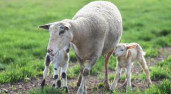 Ovino Corte Texel Matriz - e-rural Imagens