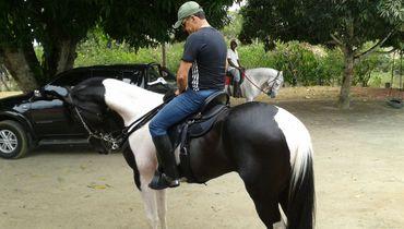 Equídeo Equino Pampa Registrado Cavalo Preta Marcha Picada - Pastar Imagens