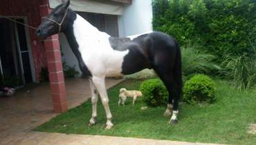 Equídeo Equino Mangalarga Registrado Cavalo Pampa Marcha Picada - Pastar Imagens