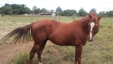 Equídeo Equino Quarto de Milha Não Registrado Cavalo Alazã Trabalho - Pastar Imagens