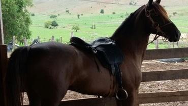 Equídeo Equino Mangalarga Marchador Não Registrado Cavalo Castanha Marcha Picada - Pastar Imagens