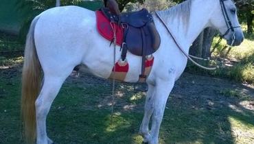 Equídeo Equino Mangalarga Marchador Registrado Cavalo Tordilha Marcha Batida - Pastar Imagens