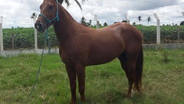 Equídeo Equino Quarto de Milha Registrado Cavalo Alazã Corrida - Pastar Imagens