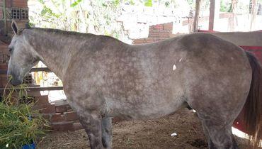 Equídeo Equino Quarto de Milha Registrado Cavalo Tordilha Corrida - Pastar Imagens