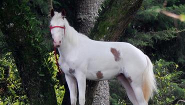 Equídeo Equino Paint Horse Registrado Potra Pampa Trabalho - Pastar Imagens