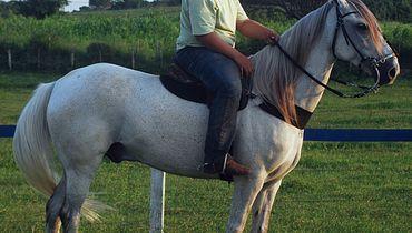 Equídeo Equino Quarto de Milha Não Registrado Cavalo Tordilha Corrida - e-rural Imagens