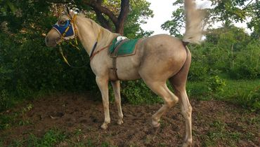 Equídeo Equino Quarto de Milha Não Registrado Cavalo Baia Corrida - Pastar Imagens