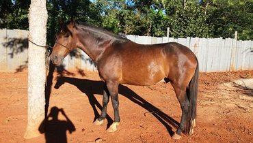 Equídeo Equino Campolina Não Registrado Cavalo Castanha Marcha Picada - Pastar Imagens