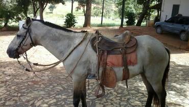 Equídeo Equino Mangalarga Marchador Não Registrado Cavalo Tordilha Marcha Picada - Pastar Imagens