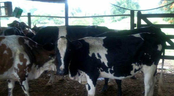 Bovino Leite Girolando Vaca 6-10l - Pastar Imagens