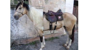 Equídeo Equino Mangalarga Marchador Comunicado Cavalo Pampa Marcha Picada - Pastar Imagens