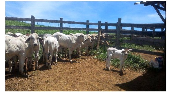 Bovino Corte Brahman Reprodutor Andrológico não em dia - Pastar Imagens