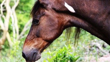 Equídeo Equino Mangalarga Marchador Não Registrado Cavalo Pampa Marcha Picada - e-rural Imagens