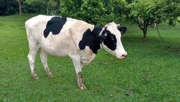 Bovino Leite Holandês Vaca 16-20l - Pastar Imagens