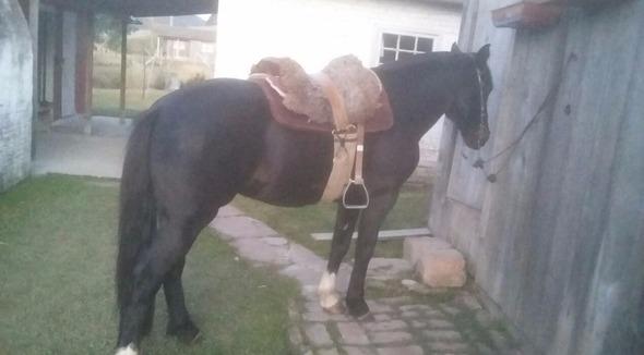 Equídeo Equino Crioulo Comunicado Cavalo Zaina Trabalho - e-rural Imagens
