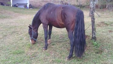 Equídeo Equino Crioulo Não Registrado Cavalo Castanha Trabalho - Pastar Imagens