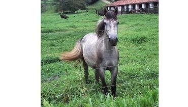 Equídeo Equino Mangalarga Marchador Não Registrado Potra Tordilha Marcha Batida - e-rural Imagens