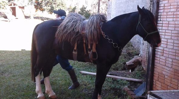 Equídeo Equino Crioulo Registrado Garanhão Preta Trabalho - e-rural Imagens
