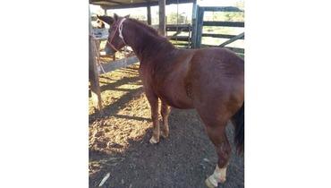 Equídeo Equino Quarto de Milha Não Registrado Cavalo Alazã Trabalho - e-rural Imagens