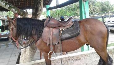 Equídeo Equino Mangalarga Marchador Registrado Cavalo Castanha Marcha Picada - Pastar Imagens